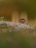 Burrowing owl (Athene cunicularia) Royalty Free Stock Photos
