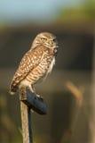 Burrowing owl (Athene cunicularia) Stock Image