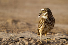 Burrowing Owl, Athene cunicularia Royalty Free Stock Images