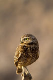 Burrowing Owl, Athene cunicularia Stock Photography