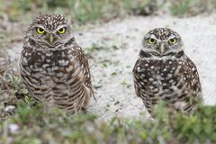 Burrowing Owl (athene cunicularia) Royalty Free Stock Photography