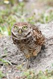 Burrowing Owl (athene cunicularia) Royalty Free Stock Images