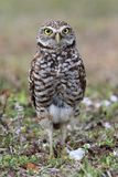 Burrowing Owl (athene cunicularia) Stock Photo
