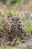 Burrowing Owl & x28;athene cunicularia& x29; Royalty Free Stock Photos