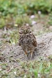 Burrowing Owl & x28;athene cunicularia& x29; Royalty Free Stock Photography