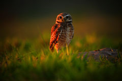 Burrowing Owl, Athene cunicularia, night bird with beautiful evening sun, animal in the nature habitat, Mato Grosso, Pantanal, Bra Stock Photos