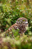 Burrowing Owl, Athene cunicularia, night bird with grass nature. Beautiful bird in the nature habitat, Florida, USA. Owl sitting n Stock Photography