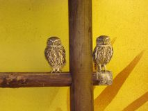 Burrowing Owl - Athene cunicularia Stock Images