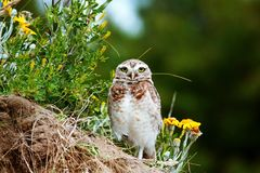 Burrowing owl Athene cunicularia. Pampas, Argentina. Burrowing owl Athene cunicularia. Burrowing Owl Athene cunicularia in the Pampas of Argentina royalty free stock images