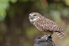 Burrowing owl Athene cunicularia Royalty Free Stock Images