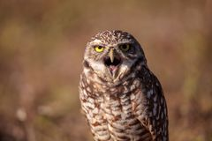 Burrowing owl Athene cunicularia perched outside its burrow. On Marco Island, Florida Royalty Free Stock Images