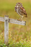 Burrowing Owl, Athene cunicularia, sitting in wooden cross in Cape Coral, Florida, USA Royalty Free Stock Image