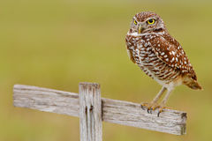 Burrowing Owl, Athene cunicularia, sitting in wooden cross in Cape Coral, Florida, USA. Urban wildlife with bird. Grey little owl Stock Photo