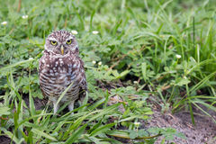 Burrowing Owl. The Burrowing owl (Athene Cunicularia) is a small owl that lives in dry, open areas. They have long legs and a short tail and bright yellow eyes Stock Photo