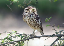 Burrowing Owl (Athene cunicularia). A small Burrowing Owl (Athene cunicularia)looking at the camera,perching on a leafy branch in coastal desert,Peru Royalty Free Stock Photo