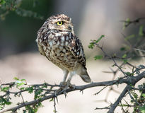 Burrowing Owl (Athene cunicularia). A small Burrowing Owl (Athene cunicularia)looking sideways,perching on a leafy branch in coastal desert,Peru Stock Photography