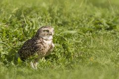 Burrowing owl Athene cunicularia standing in grassland Royalty Free Stock Photo