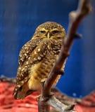 Burrowing Owl Athene cunicularia Stock Photo