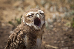 Burrowing Owl (Athene cunicularia) yawning. With a big open beak. Patagonia, Argentina, South America Royalty Free Stock Images
