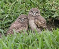 Burrowing owl Babys. Burrowing Owls 5 minutes from my door Stock Photo