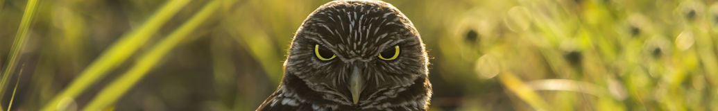 Burrowing Owl Banner Stock Photo