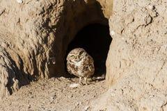 Burrowing Owl. Bird of Prey Royalty Free Stock Images