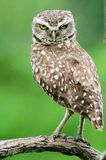 Owl on a branch. A burrowing owl on a branch looking serious Royalty Free Stock Photos