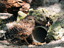 Burrowing Owl and Burrow. Portrait of a Burrowing Owl standing close to its burrow made out of pipe. Photographed in South Florida royalty free stock photos