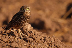 Burrowing Owl On Burrow Mound. A Burrowing Owl giving an alert look from its burrow mound in California Stock Images