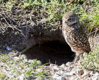 Burrowing Owl at Burrow Stock Photo