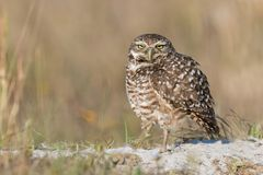 Burrowing Owl. A Burrowing owl in Florida Stock Photography