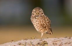 Burrowing Owl. A Burrowing owl in Florida Stock Photos