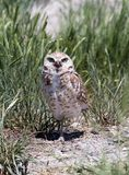 Burrowing Owl. A burrowing owl in grass Royalty Free Stock Photography