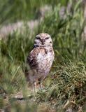 Burrowing Owl. A burrowing owl in grass Stock Photos