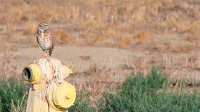 Burrowing Owl stock video