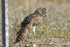 Burrowing Owl in Cape Coral, Florida Royalty Free Stock Photography