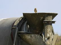 Burrowing Owl on a Cement Truck Royalty Free Stock Image
