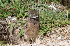 Burrowing owl chick emerging from nest Stock Images