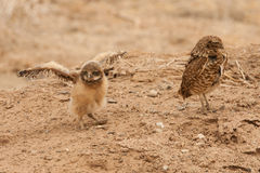 Burrowing Owl Chick. Young Burrowing Owl Chick Spreading Wings With Adult Standing Nearby Stock Images