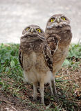 Burrowing Owl Chicks Imagem de Stock Royalty Free