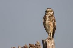 Burrowing Owl. Close up of Burrowing Owl Stock Image