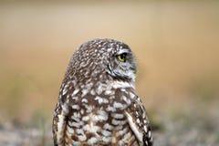 Burrowing owl close up profile Stock Image