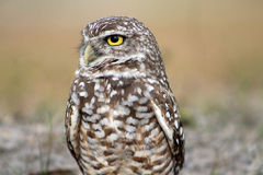 Burrowing owl close up profile Royalty Free Stock Photos