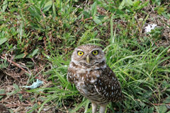 Burrowing owl close up Stock Image