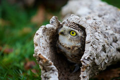 Burrowing Owl. Closeup of a Burrowing Owl in a hollow tree Stock Photography