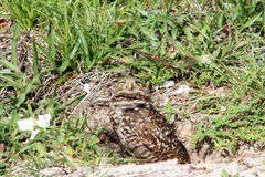 Burrowing owl couple and chick in nest Stock Photo