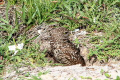Burrowing owl couple and chick in nest Stock Image