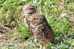 Burrowing owl couple close up Royalty Free Stock Image