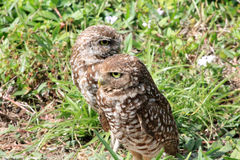 Burrowing owl couple close up 2 Royalty Free Stock Photos