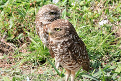 Burrowing owl couple close up 3 Stock Image